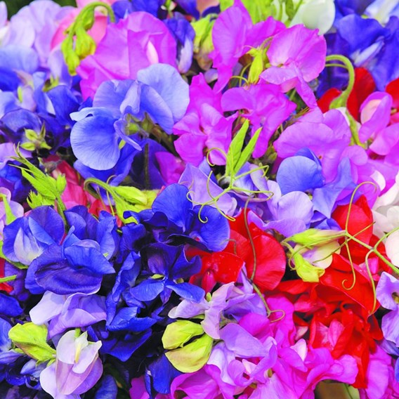 Sweet Pea Long Stem Mixed (12)