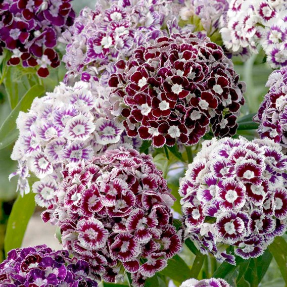 Sweet William Seeds - Frosted Burgundy