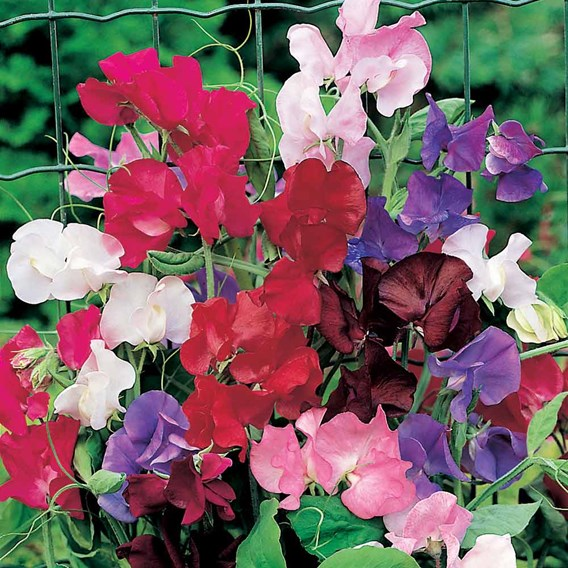 Sweet Pea Rob's Perfect Summer (Distant + Churchill)