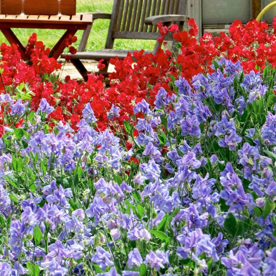 Sweet Pea Seeds - Blue Bell Carpet