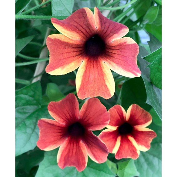 Thunbergia Sunny Susy Amber Stripe (6)