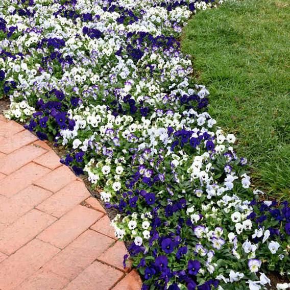 Viola Plants - Ocean Breeze