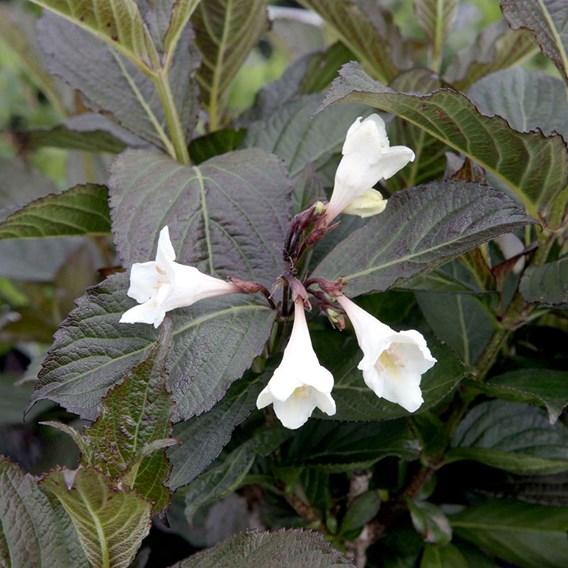 Weigela florida EBONY AND IVORY Noble® (PBR)
