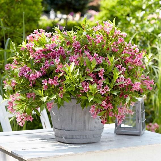 Weigela flor. Picobella Rosa