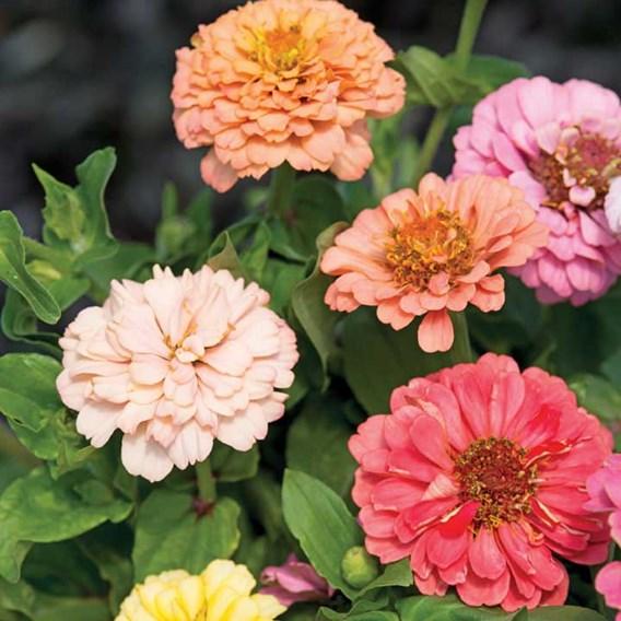 Zinnia Seeds - Dobies Florist Pastels Mixed