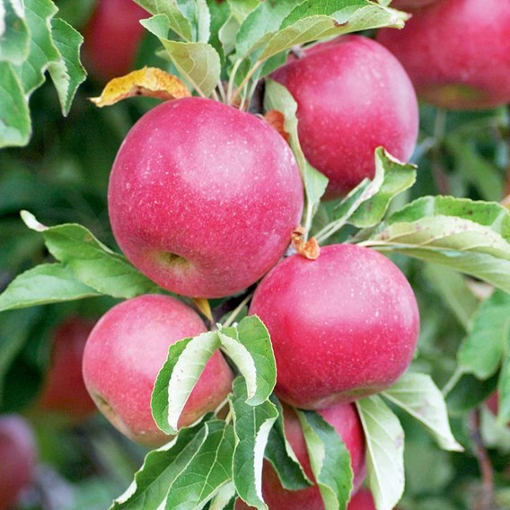 Patio Fruit Tree Apple Discovery