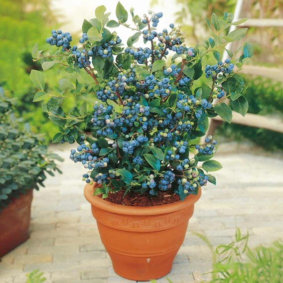 Blueberry Plants - Collection