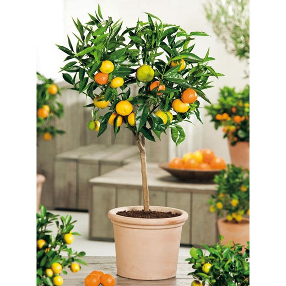 Citrus Tree - Orange