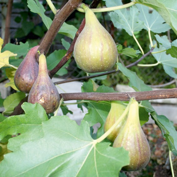 Organic Fig Peretta