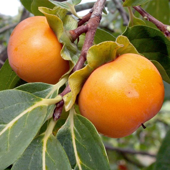 Persimmon Tree - Kaki-Sharon Fruit  2ltr