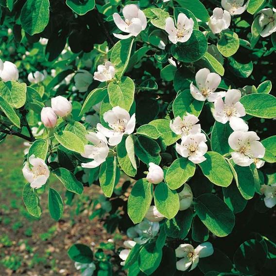 Quince Tree - Vranja