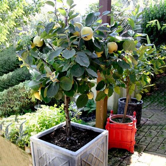 Patio Fruit Tree Quince