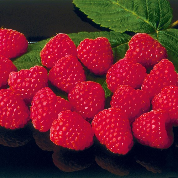 Raspberry Plants - Autumn Bliss