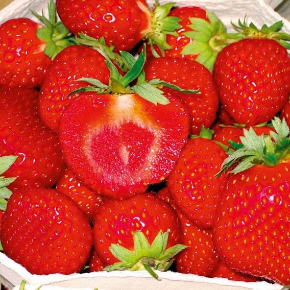 All Season Strawberry Collection (24)  Vibr/Flamenco/CamFav/Malw (6 Of Each)