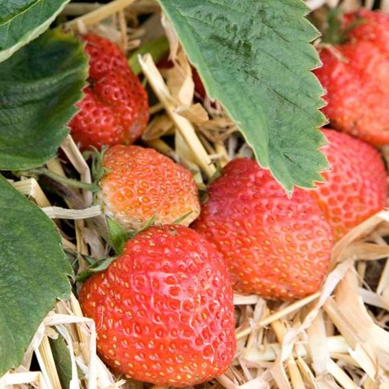Strawberry Plants - Royal Sovereign