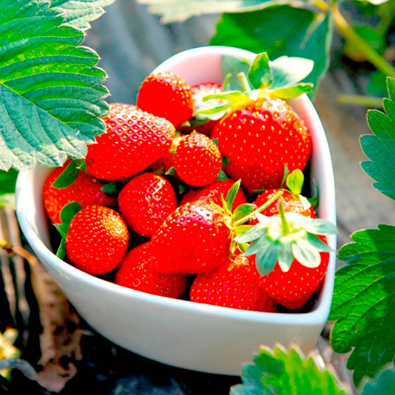 Strawberry Plants - Summer Fruiting Collection