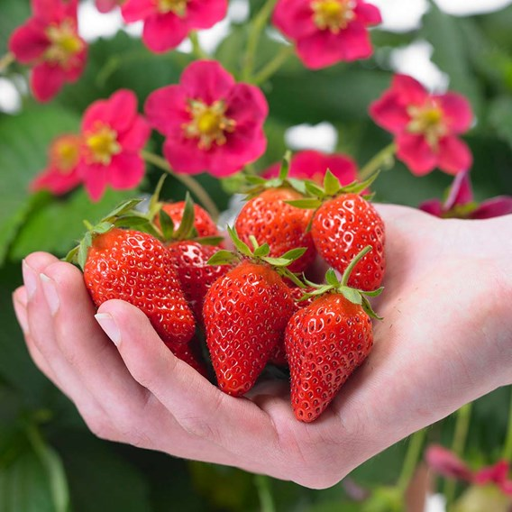Strawberry Plants - Our Selection 18x9cm