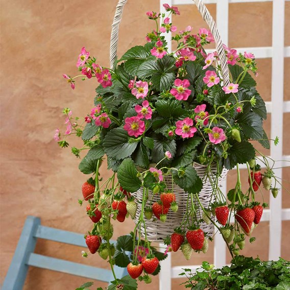 Strawberry Plants - F1 Frisan