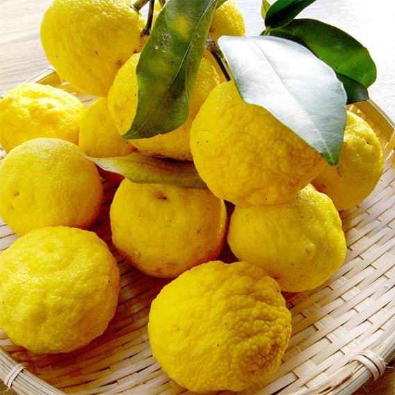 Citrus Plant - Yuzu 3Ltr