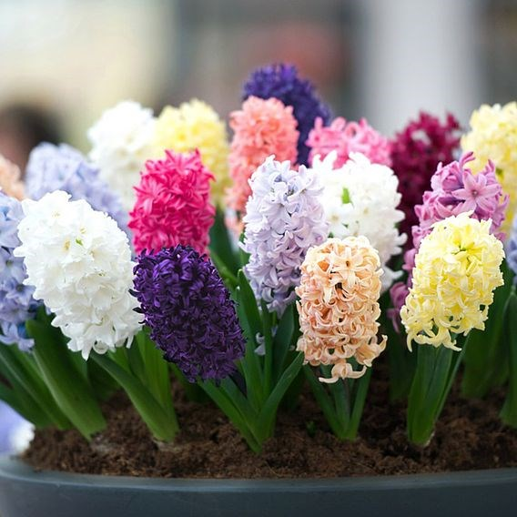 Hyacinth Pagoda Mix