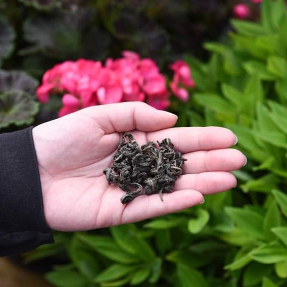 Hydrangea Serrata Plant - Hydrantea