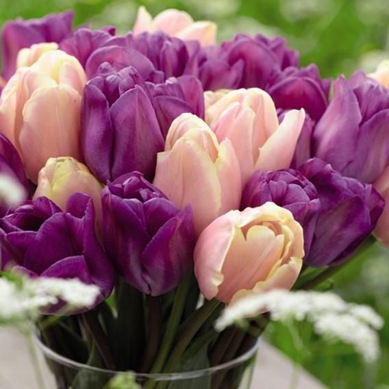 Tulip Bulbs -  Magic Lavender & Mango Charm Mix