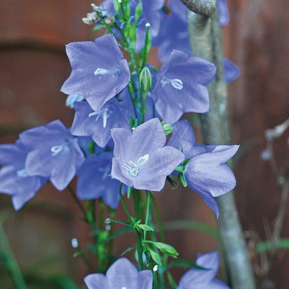 Campanula Plants - persicifolia Bells Blue