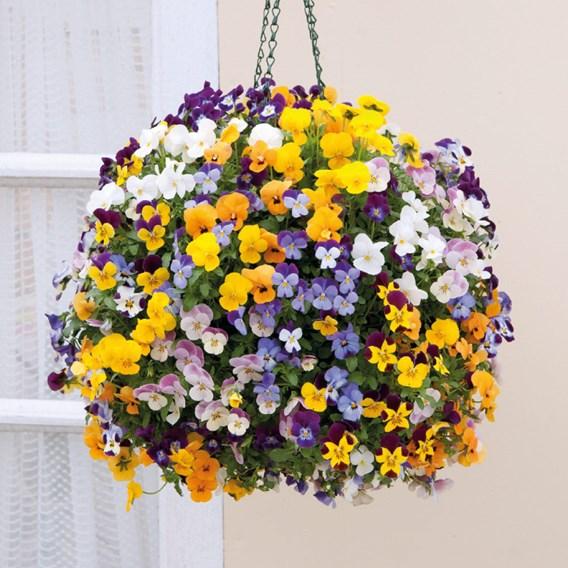 Viola Teardrops Pre Planted Basket