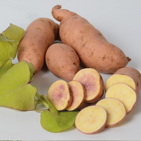 Sweet Potato Makatea 10.5cm Pot x 1