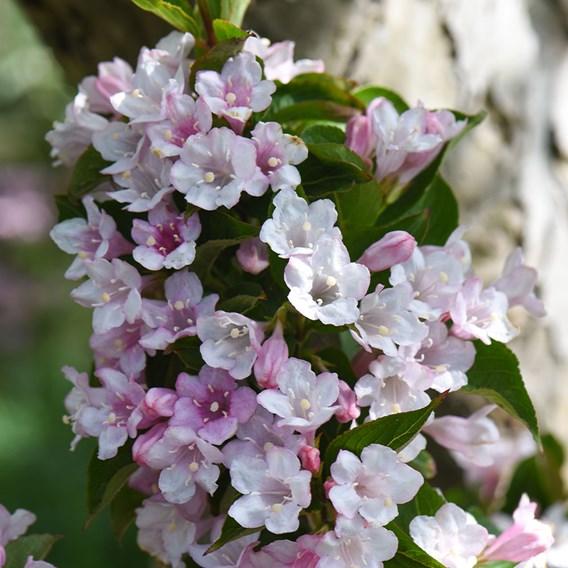 Weigela Towers of Flowers Apple Blossom