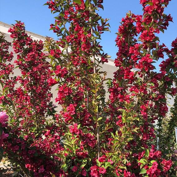 Weigela Towers of Flowers Cherry