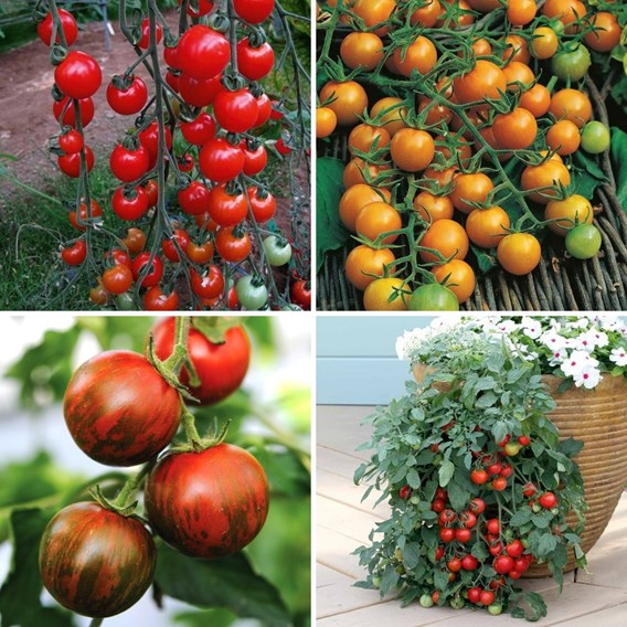 Tomato Nurserymans Choice