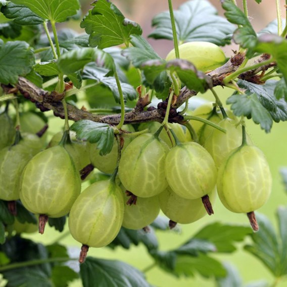 Gooseberry Giggles Green