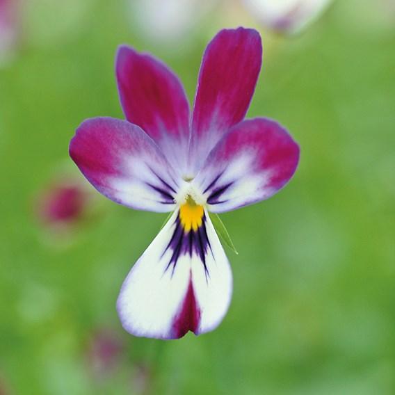 Viola Plant - Bunny Ears