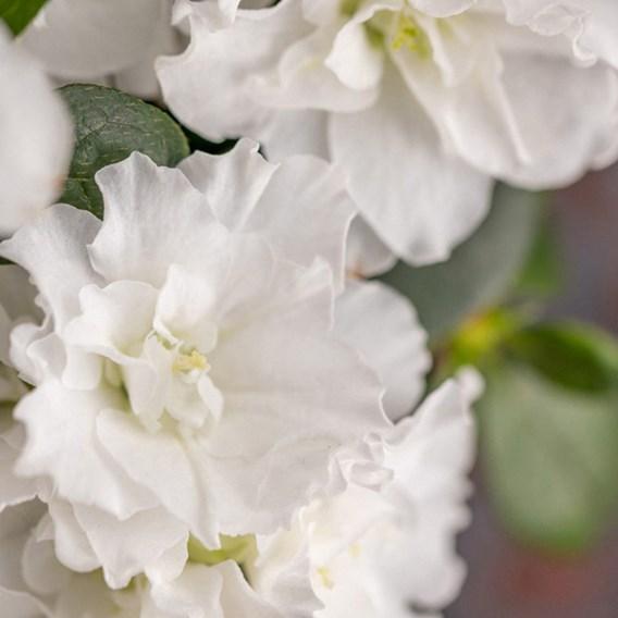 Azalea Rustica White