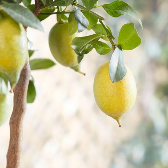 Citrus Lemon Half Standard  24cm x 1