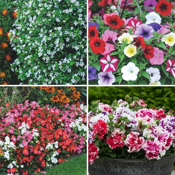 Summer Saver 72 Collection Plug Plants
