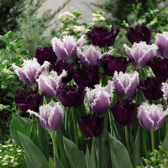 Tulip Bulbs Black Cherry Frost