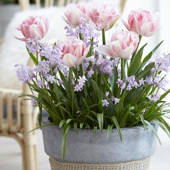 Plant-O-Tray Tulip Foxtrot & Chionodoxa Pink Giant Mix
