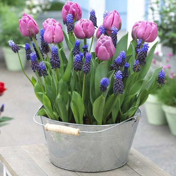 Plant-O-Tray Tulip Purple Prince & Muscari Latifolium