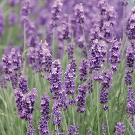 Lavender Plants - Munstead