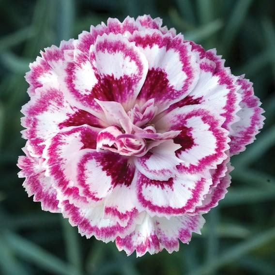 Dianthus - Pinks Gran's Favourite