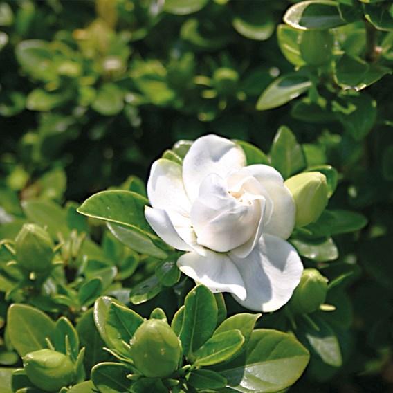 Gardenia Crown Jewels