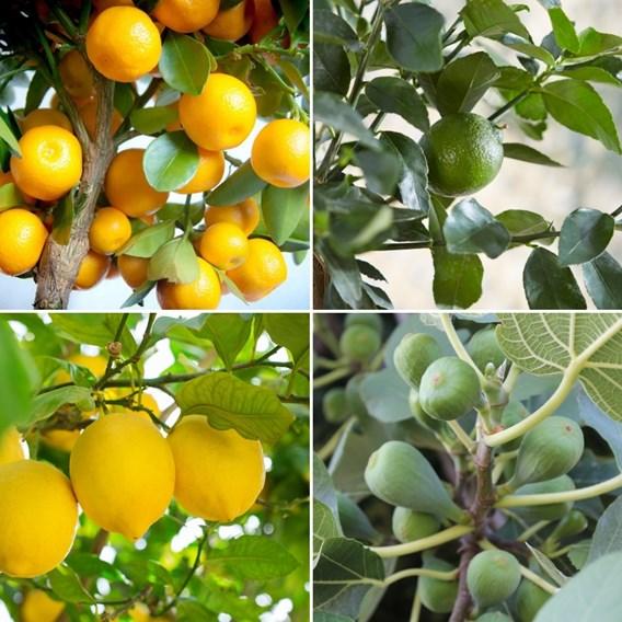 Mediterranean Fruit Collection