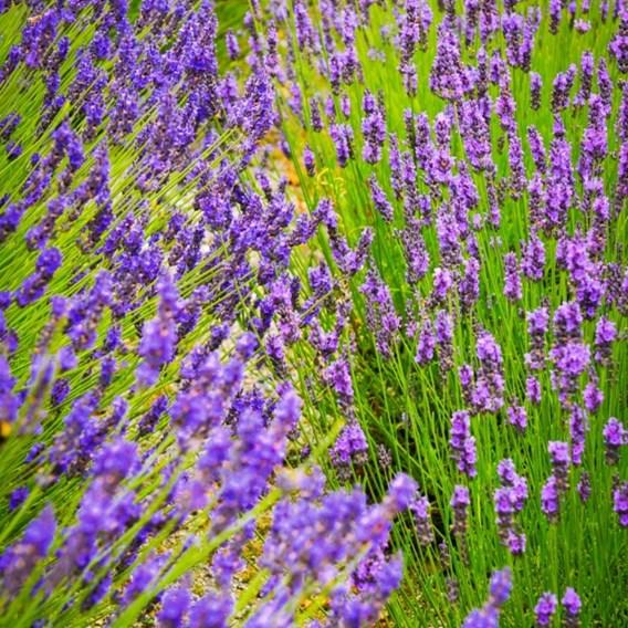 Lavender Duo Hidcote & Munstead