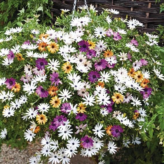 Osteospermum Plants - Falling Stars™