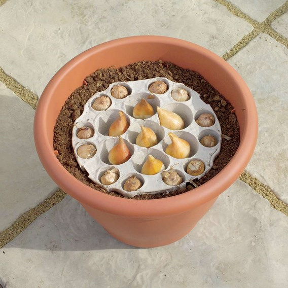 Plant-O-Tray Heart Preplanted Bulbs - Narcissus & Crocus(21)