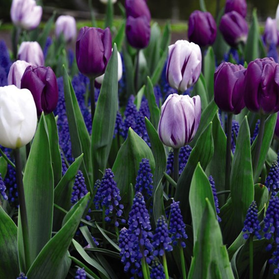 Spring flowering Purple Rain Mix