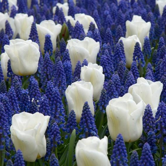 Tulip White and Muscari Blue Mix