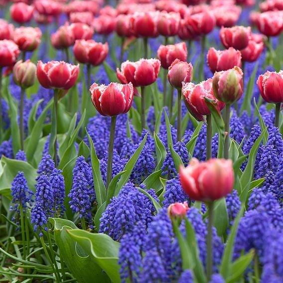 Spring Flowering Regal Mix